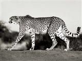 Cheetah, Namibia, Africa Art Print