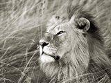 African Lion, Masai Mara, Kenya 1 Art Print