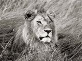 African Lion, Masai Mara, Kenya 2 Art Print