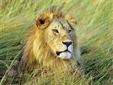 African Lion, Masai Mara, Kenya Art Print