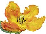 Parrot Tulip Close-Up Art Print