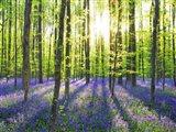 Beech Forest With Bluebells, Belgium Art Print