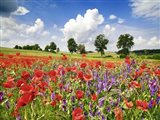 Poppies And Vicias In Meadow, Mecklenburg Lake District, Germany Art Print