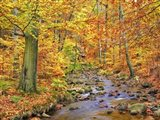 Beech Forest In Autumn, Ilse Valley, Germany Art Print