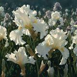White Iris Garden - Square Art Print