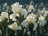 White Rose Garden Art Print