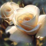 White Rose - Colors of White - Square Art Print