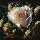 White Rose - First Born Art Print