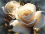 White Roses - Colors of White Art Print