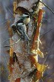 Black-Capped Chickadees - Sunlit Birch Art Print