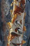 Black-Capped Chickadees - Sunlit Birch II Art Print