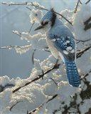 Blue Jay - On the Fence Art Print
