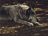 Resting Wolf Art Print