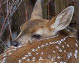 Mule Deer Fawn Art Print