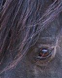Domino - S Steens Stallion Art Print