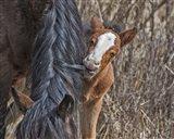 Ochoco Wild Foal - Big Summit HMA Art Print