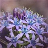 Hyacine Art Print