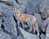 Red Fox Kit I Art Print