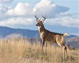 Montana Whitetail Buck II Art Print