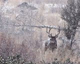 Mule Deer Buck - Steens Mountain Art Print