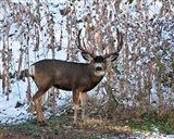 Mule Deer Buck Art Print