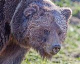 Grizzly Bear Boar Art Print