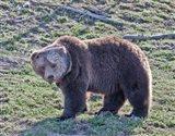 Grizzly Bear Boar II Art Print