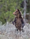 Grizzly Two Year Old Art Print