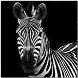 Zebra II Square Art Print