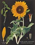 Sunflower Chart Art Print