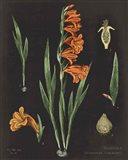 Gladiola Chart Crop Art Print