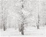 Snow Covered Cottonwood Trees Art Print