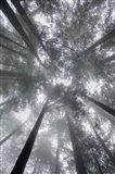 Fir Trees I Art Print