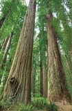 Redwoods Forest I Art Print