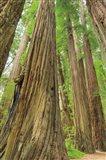 Redwoods Forest III Art Print