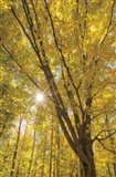 Autumn Forest II Art Print