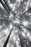 Fir Trees I BW Art Print