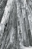 Redwoods Forest III BW Art Print