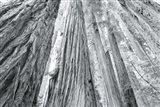 Redwoods Forest IV BW Art Print