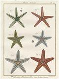 Histoire Naturelle Starfish II Art Print