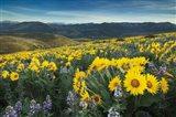 Methow Valley Wildflowers IV Art Print