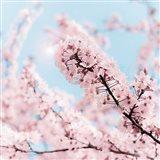 Cherry Blossom Clouds Art Print