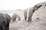 Horses of Hofn II BW Art Print