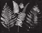Nature by the Lake Ferns I Black Crop Art Print