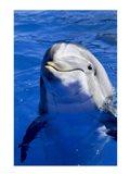 Dolphins Sea World San Diego, California USA Art Print