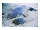 Hawaiian Monk Seal with Green Turtle relaxing on the sand Art Print