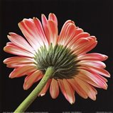 Pink Gerbera IV Art Print
