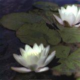 Water Lillies I Art Print