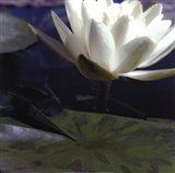 Water Lillies II Art Print