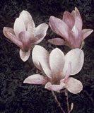 Pink Magnolias II Art Print